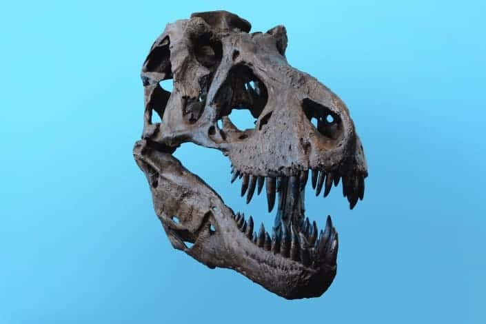 Dinosaur skull bone