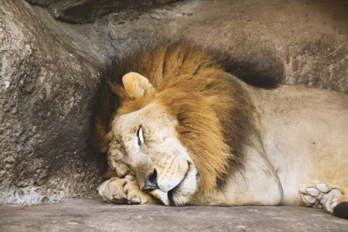 Funny questions - What would you do if you caught a lion sleeping in your back seat
