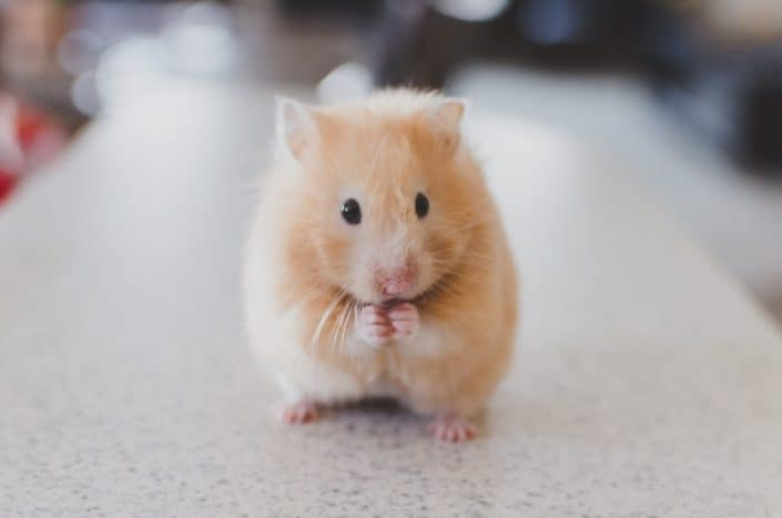 Funny questions - Would you prefer a hamster or a rabbit as a pet