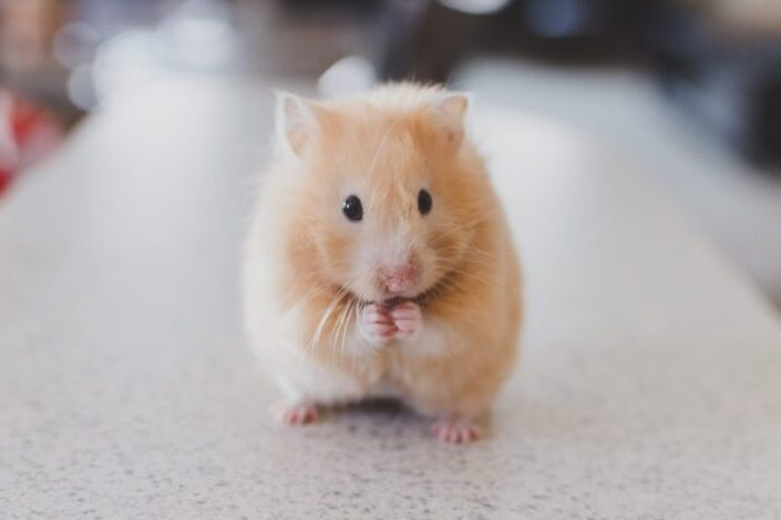 A cute hamster, staying still.