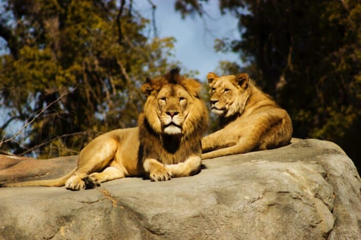 Two lions lying on a huge rock.